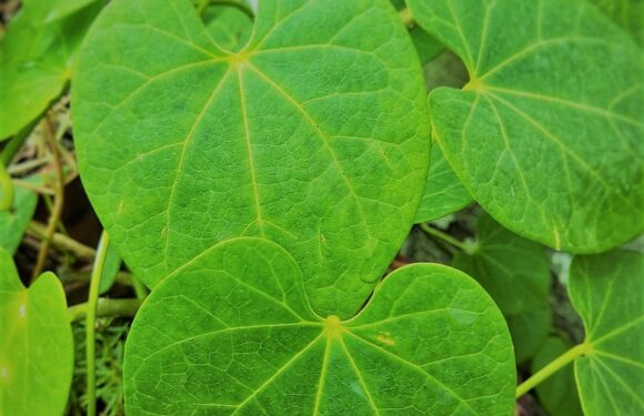 Giloy : About,Ayurvedic Benefits, How To Use